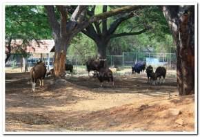 mysore-zoo, mysore