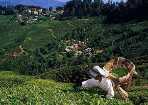 happy-valley-tea-gardens, darjeeling