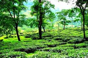 badamtan-tea-estate, darjeeling