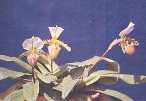 Botanical Survey of India Orchidarium, Shillong