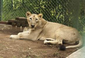 lion-safari-wildlife-park-silvassa, dadra-and-nagar-haveli