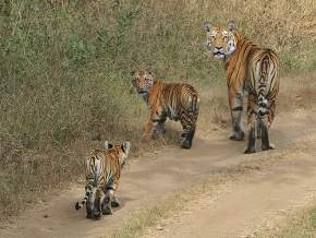 pench-national-park, nagpur
