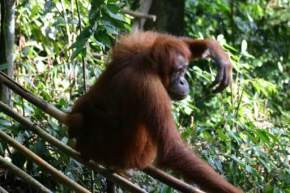 bohorok-orangutan-viewing-centre, indonesia