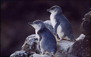 pohatu-penguin-habitat, new-zealand