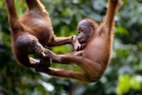 sepilok-orang-utan-rehabilitation-center, malaysia