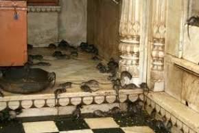 karni-mata-temple-bikaner