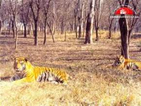 Tiger Safari, Ludhiana