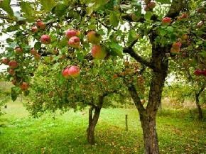 apple-orchards-bomdila