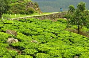 attractions-Tea-Gardens-Palampur